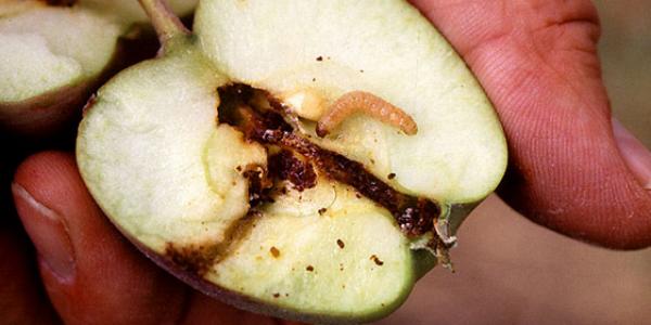 Личинка плодожорки для наживки