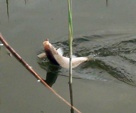 как клюет карась на поплавок