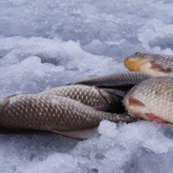 Ловля карася по льду.